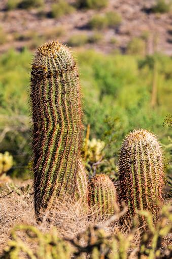 Major android releases have long been named after desserts. Sonoran Desert Cactus That Looks Like A Penis Stock Photo - Download Image Now - iStock