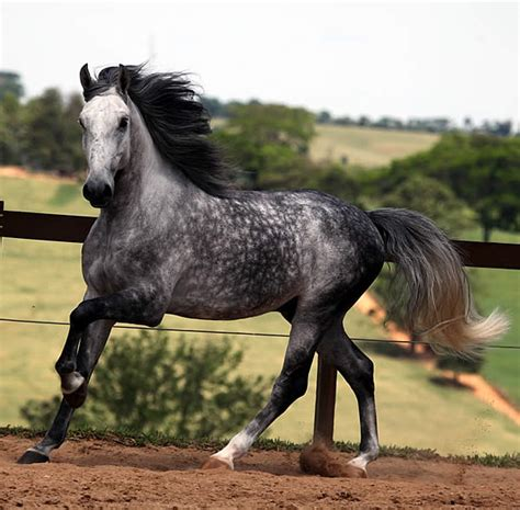 andalusian horse grey dapple horses gray stallion dappled breeds breed palomino mare spanish friesian dark pretty most colors silver lusitano