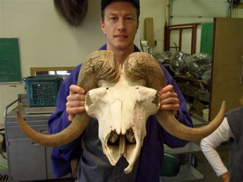musk oxen polartrec