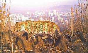 Despite Leopards Roaming In Mumbai, Zoo Authority Rejects ...