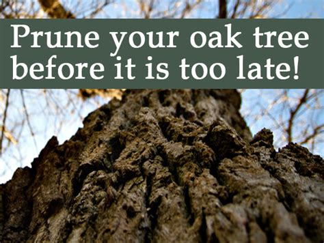 Prune your Oak Tree before it is too late!