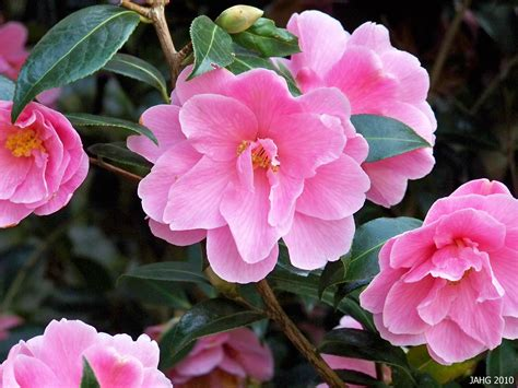 camellia plant pictures c is for camellias japanese camellias name that plant
