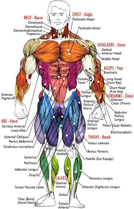 Back muscle anatomy, types, structure, importance & names. Pin by Webatodasleite Naboca on Anatomical (With images ...