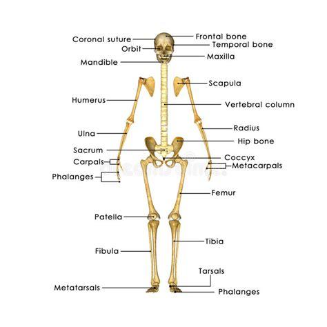 Gabbia Toracica Ossa - scheletro senza gabbia toracica illustrazione di stock