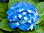 Blue Flowers Names And Meanings 21 Hd Wallpaper ...