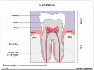 Tooth Anatomy Illustrations
