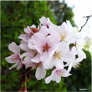 A Cherry Blossom  Prunus X Yedoensis Cv  Somei