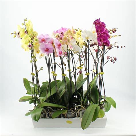 phalaenopsis bezorgen orchidee bestellen en bezorgen