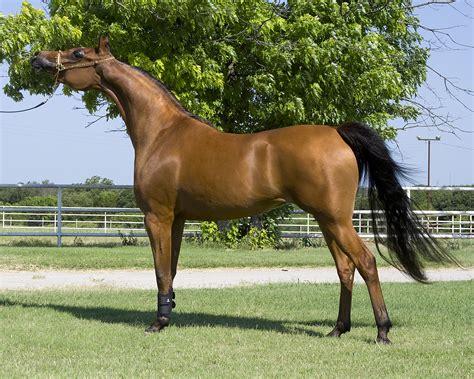arabian horse wikipedia english