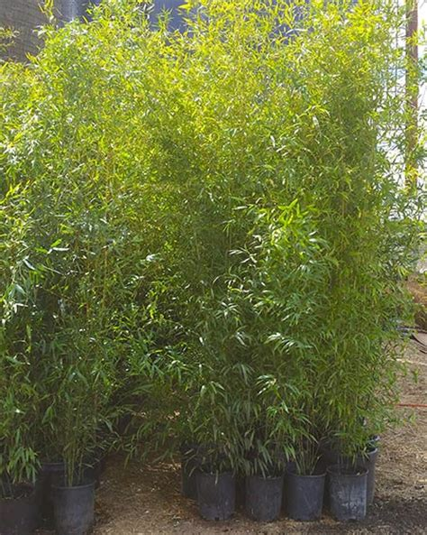 plants that go with bamboo bamboo plants for sale nj bamboo landscaping