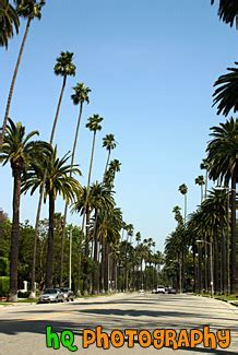 palm trees  beverly hills road photo