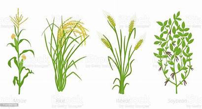 Wheat Plant Rice Crops Maize Soybean Agricultural