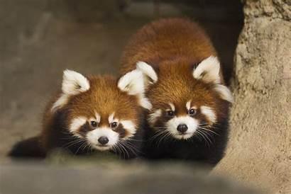 Panda Cubs Zoo Park Lincoln Chicago Pandas