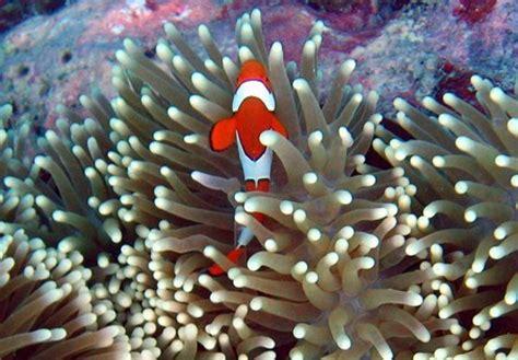 anemone de mer