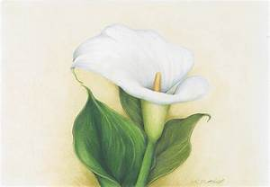 Calla Lily Drawing by Heather Mitchell