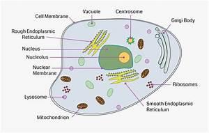 Animal Cell Diagram Golgi Body