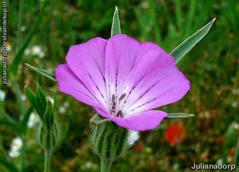 wilg bloem julianadorp nieuws juni 2008