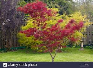 Roter Ahorn Baum : windblown tree stockfotos windblown tree bilder alamy ~ Michelbontemps.com Haus und Dekorationen