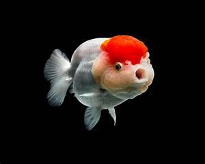 Richly Hued Portraits Of Elegant Chinese Goldfish By