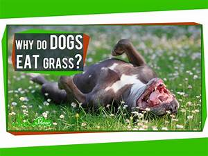 why does my dog eat grass