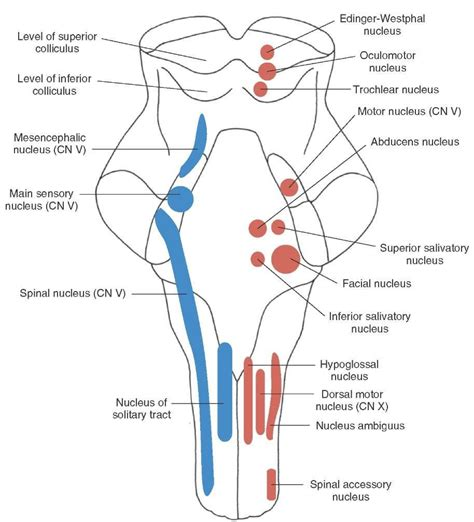 longitudinal view of the brainstem depicting the position and arrangement of the sensory motor