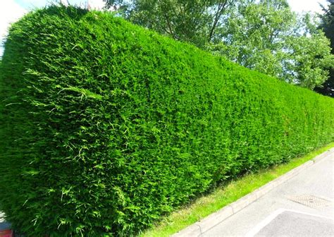privet hedge privets arnold zwicky s blog