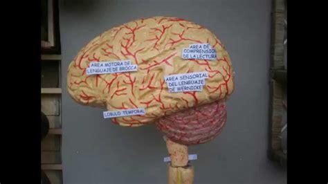 sistema nervioso central maqueta maqueta anat 243 mico del sistema nervioso central