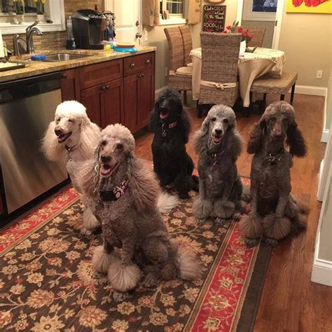 25+ Best Ideas About French Poodles On Pinterest