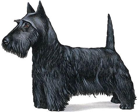 ricardo cuisine francais encyclopédie larousse en ligne scottish terrier