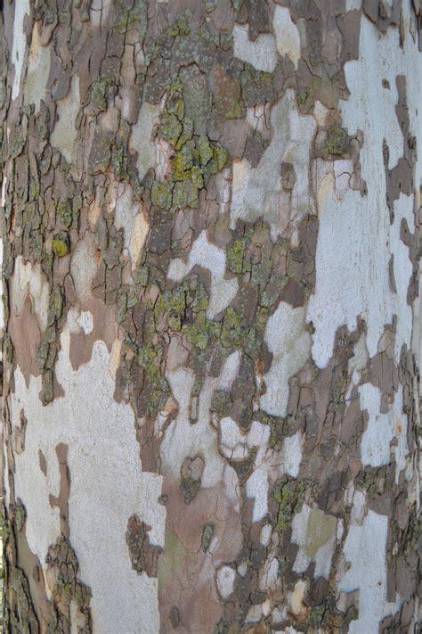 peeling sycamore tree bark  normal purdue landscape report