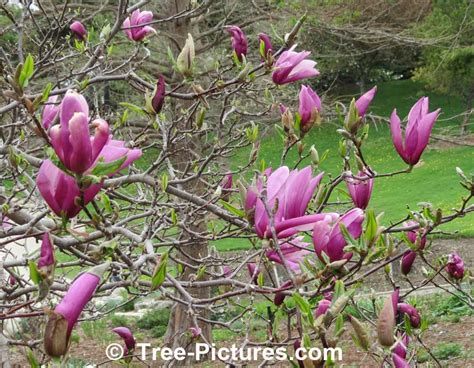 magnolia tree types types of magnolia tree with pictures facts about flowering magnolia trees