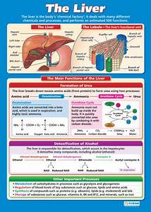 The Liver Science Educational School Posters