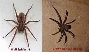 Wolf Spider: Bite, Identification, Pictures, Types and ...