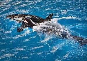 Seaworld Veterinarians Euthanize Sick Orca  3rd Killer