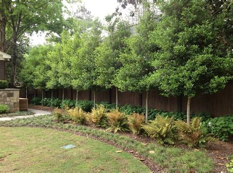 privacy planting small yard 86 best images about wind breaks on pinterest gardens planters and emerald green arborvitae