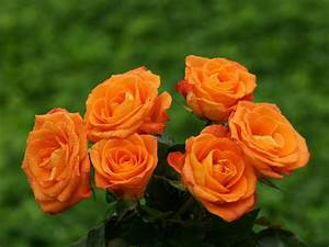 Orange Rose Wallpapers HD Pictures – Flowers Wallpapers ...