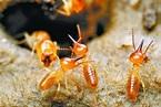 「白蟻吃白銀」,吃後還能還原?真神奇! - 每日頭條