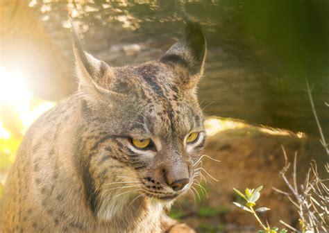 lynx iberian endangered andalusian return sun under cgtn vcg closeup