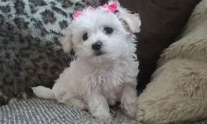 TRUE TEACUP MALTESE BABY GIRL | Burnley, Lancashire ...