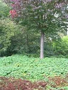 Hang Bepflanzen Bodendecker : pflanzen bodendecker stauden immergr ne bodendecker ~ Lizthompson.info Haus und Dekorationen