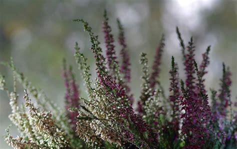 fiori profumati invernali fiori invernali da giardino e in vaso via pantano news
