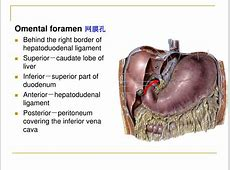 PPT The peritoneum 腹膜 PowerPoint Presentation ID746252