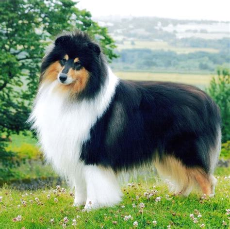 Best Images About Collies Pinterest More
