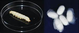Engineered silkworms spin unusual amino acids into silk