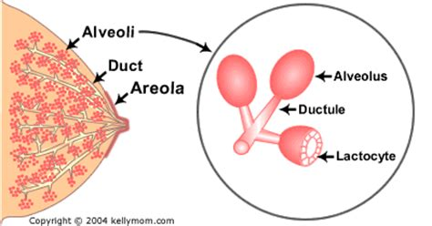 Milk Ducts In Breast Images How Does Milk Production Work Kellymom