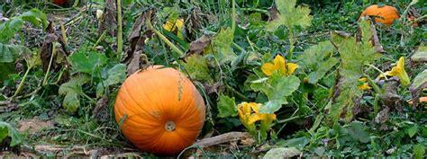 Harvesting Pumpkins For Halloween — Urbanfig