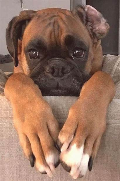 Boxer Dog Cutest Boxers Puppy Puppies Dogs