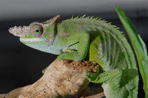 10 most popular chameleon as exotic pets