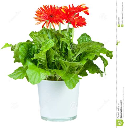 gerbera in pots gerbera in pot royalty free stock photos image 34953518