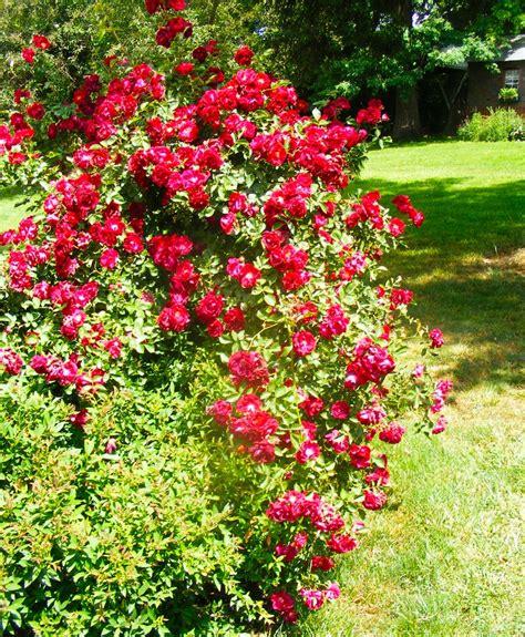 bush garden ideas 17 best images about bushes on pinterest hedges angel trumpet and shrubs